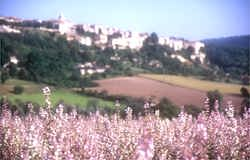 A beautiful field of clary sage in the Haute Provence with a small hilltop village in the background