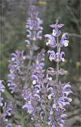 The heady euphoric aroma of clary sage from one of the fields we will visit